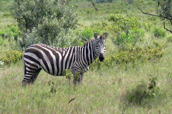 Zebra at Hell´s Gate National Park