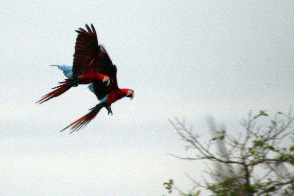 Macaws - Amazon Basin