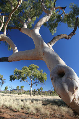 Ghost Gum Tree - Simpson´s Gap - Northern Territory
