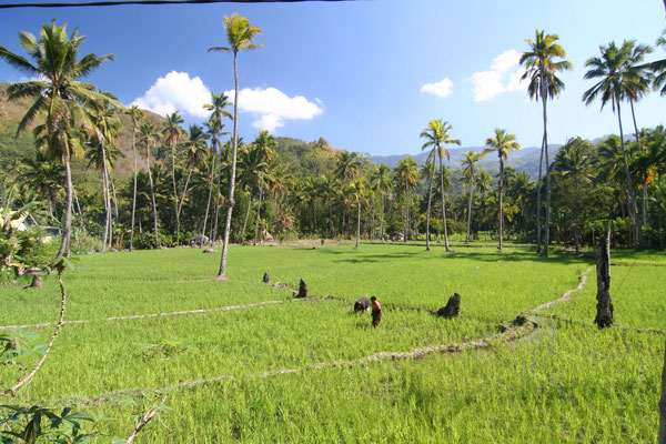 Rice fields east of Ende - Eastern Flores