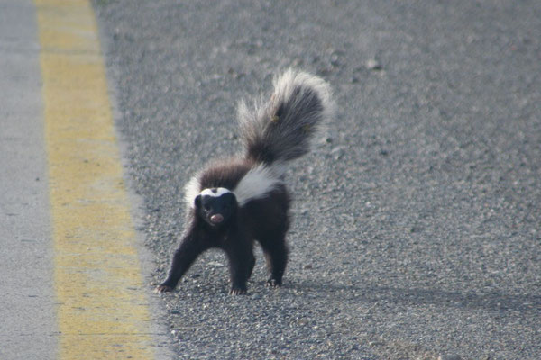 Skunk - Patagonia