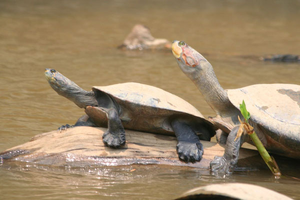 Water turtles - Yacuma River