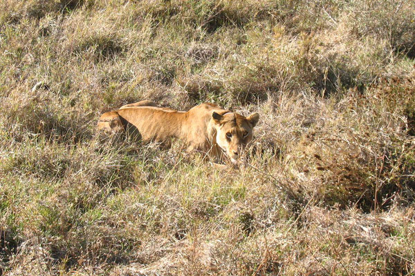 Lion - Serengeti National Park