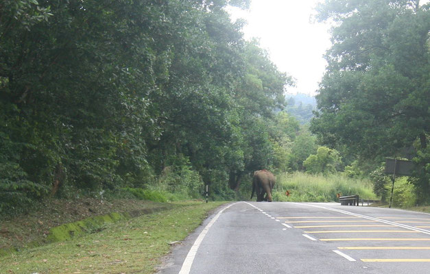 Elephant crossing East-West-Highway - Northern Malaysia