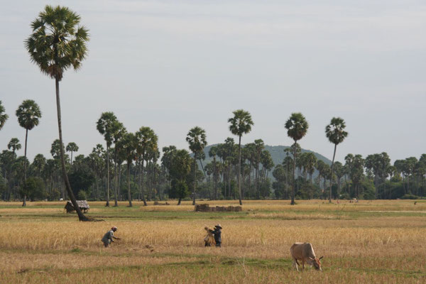 Rice fields at Pursat-Phnom Penh Road