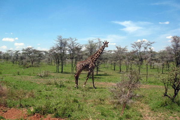 Giraffe at Serengeti National Park