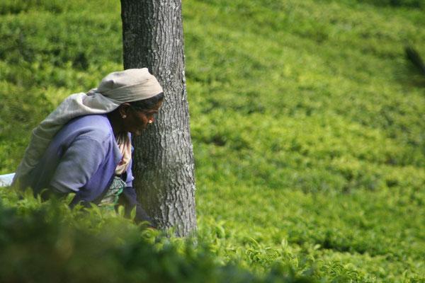 Tea harvest - Nilgiri Hills - Tamil Nadu