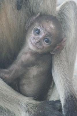Baby monkey - Pushkar - Rajasthan