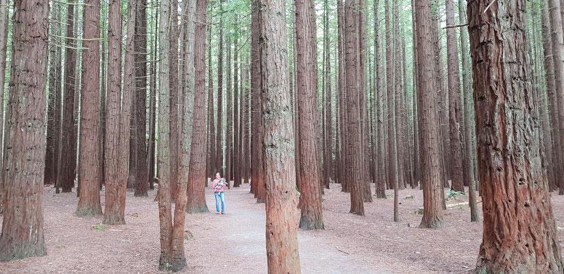 Whakarewarewa Redwood Forest - North Island