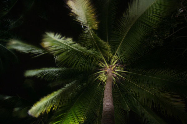 Palm tree at Bang Saphan Yai - Prachuap Khiri Khan Province - Eastern Thailand