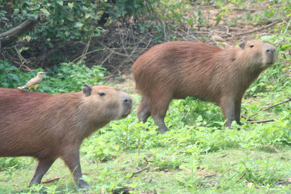 Capybaras - Amazon Basin