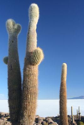 Cacti at Isla Incahuasi - Salar de Uyuni