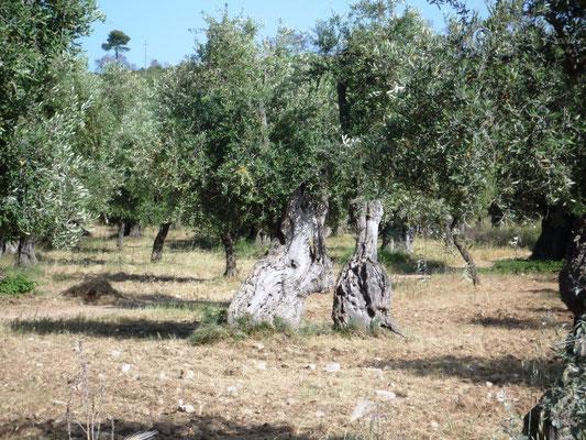 uralter Olivenbaum