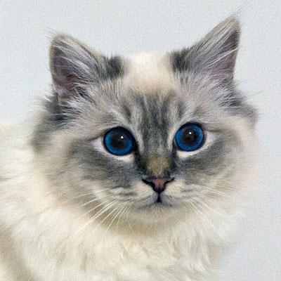 Giovanni, blue tabby point