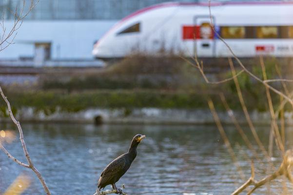 Ein Zugvogel in Dietikon