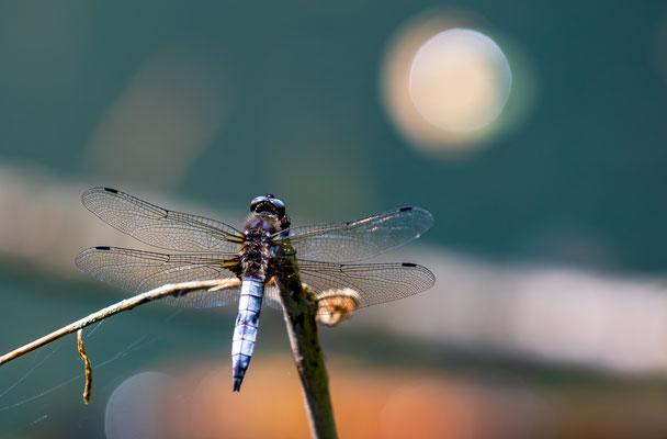 flat bellied dragonfly