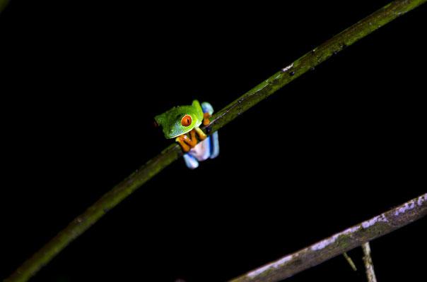 Rotaugenbaumfrosch