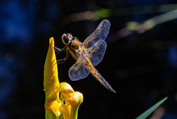 four-spot dragonfly