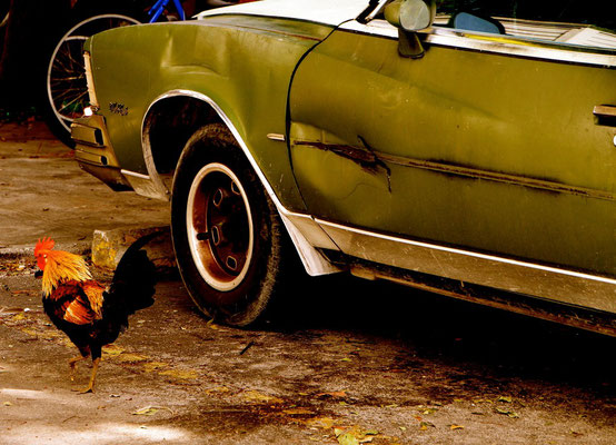ROOSTER (Key West, FL, USA, December 2010)