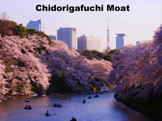 Chidorigafuchi, the biggest moat around the Imperial Palace, is one of the most famous places for cherry blossom viewing in Tokyo. The cherry blossoms reflected in the water with Tokyo Tower in the distance are splendid.