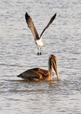 Birds at Sea, Higgs Beach, Key West: November 2013