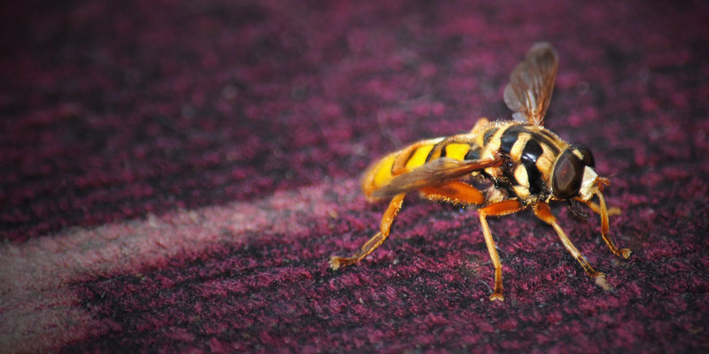 Bee, Bridgeport, Ohio, August 2013