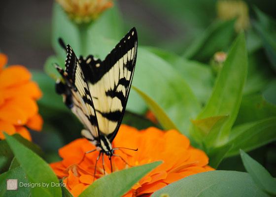 Yellow Swallowtail, Oglebay Park, West Virginia: August 2013