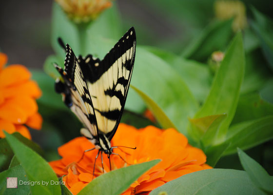 Yellow Swallowtail, Oglebay Park, West Virginia: August 2013