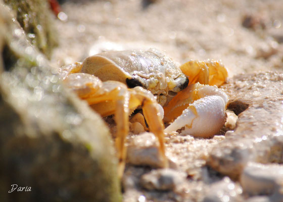 Hiding Crab, Key West, March 2014