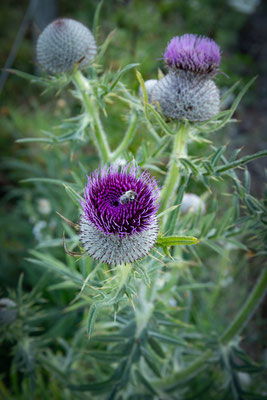 ©sibyllepietrek-photographin-cirsium vulgare