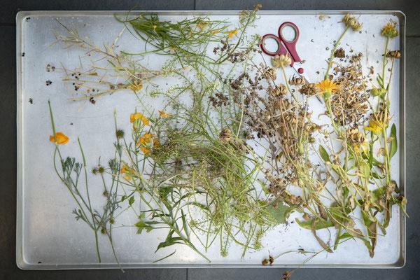 blüten-samen-sammeln©sibyllepietrek-photographin