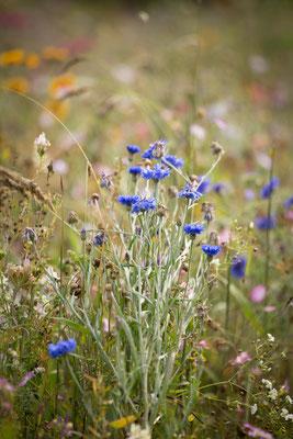 ©sibyllepietrek-photographin-centaurea cyanus