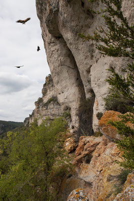 vautour-fauve-falaises-du-boffi-gorges-de-la-dourbie-causse-noir-à-proximite-du-gite-d'-exception-en-aveyron-le-colombier-saint-veran-qualite-5-etoiles-credit-photo-mcg