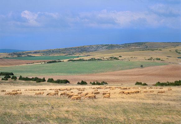 troupeau-de-brebis-race-lacaune-sur-le-causse-du-larzac-terre-de-lumiere-evasion-grands-causses-en-gite-d'-exception-en-aveyron-le-colombier-saint-veran-credit-photo-mcg