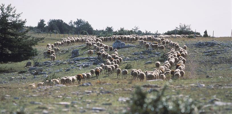 parcours-du-troupeauu-de-brebis-sur-le-causse-mejean-parc-national-des-cevennes-hebergement-en-gite-d'-exception-en-aveyron-le-colombier-saint-veran-osez-l'experience-5-etoiles-credit-photo-mcg