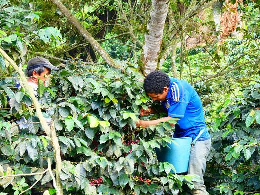 Ouvriers agricoles près de Salento (Quindio)