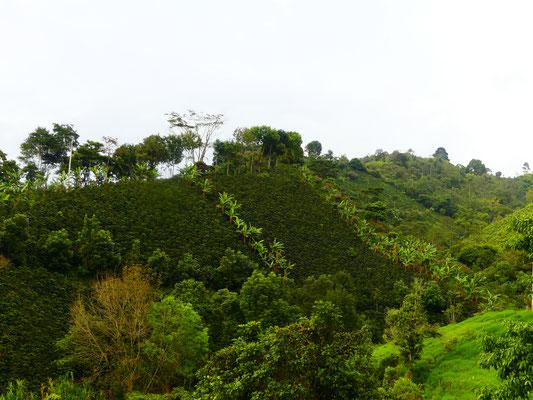Montagnes recouvertes de cultures de café et de bananiers
