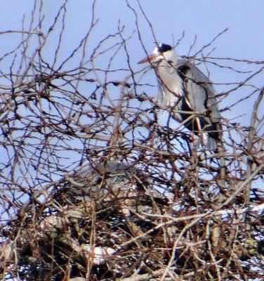 Graureiher am Nest