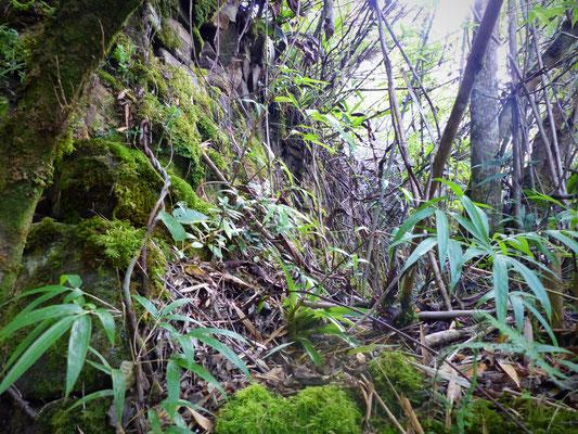 On voit bien l'état du mur recouvert de mousse et de végétation avant excavation.