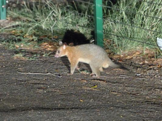 Petit marsupial