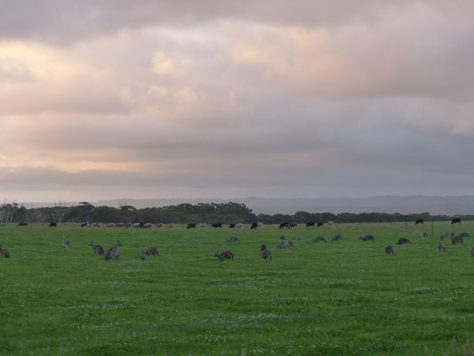 Des kangourous en veux tu en voilà, vivant en prfaite harmonie avec les vaches!