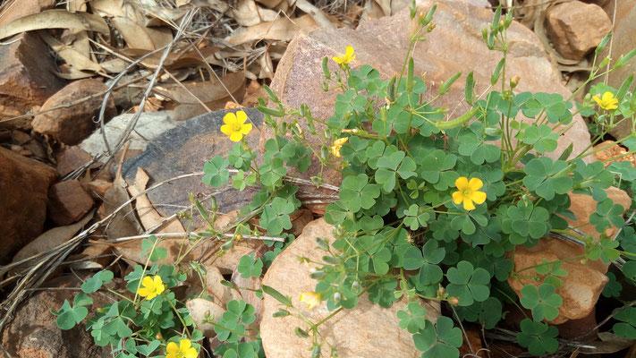 Fleurettes du désert