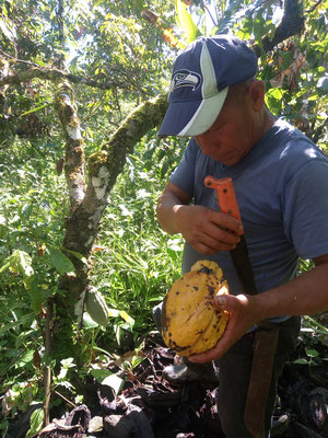 Du cacao, on mange la pulpe autour des graines.