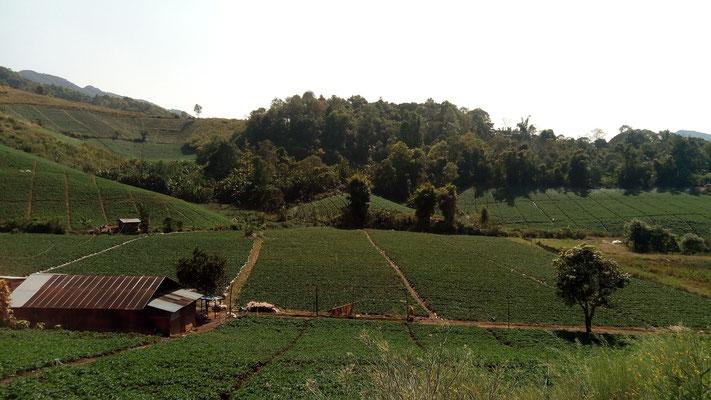 Plantations de thé?