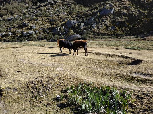 Bataille de taureaux au petit matin