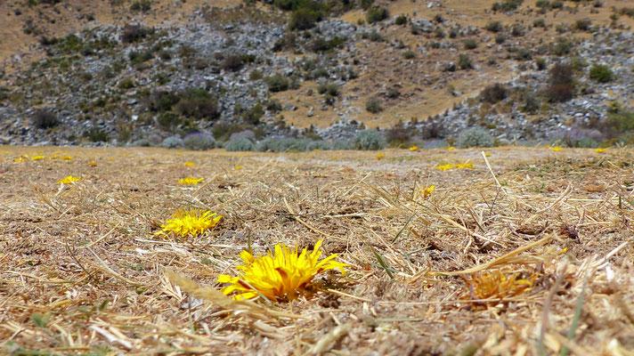Le sol est sec alors la fleur s'économise et ne perd pas d'énergie avec une tige !