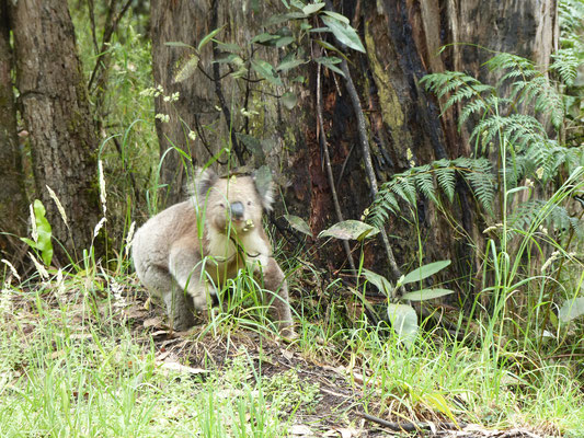 Notre petit koala sauvage