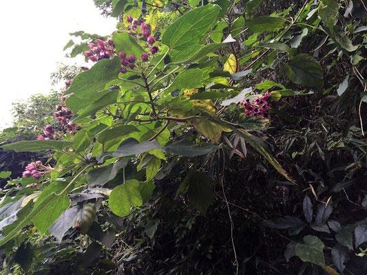 クサギ 異様な匂いの葉が特徴で、草木染に使われる