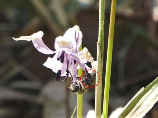 写真2.紫色の花粉だんごを作るミツバチ(昨年の様子)