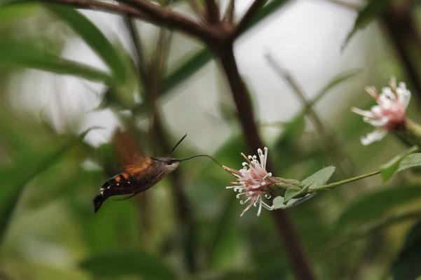 写真6.コウヤボウキで吸蜜するホシホウジャク